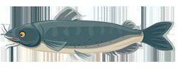 Catfish
